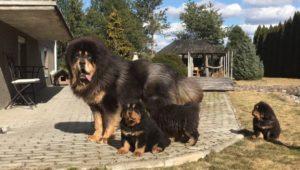 Perro gigante con sus cachorros