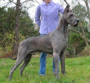 Perro gigante junto a una persona