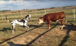 Gran Danés junto a una vaca