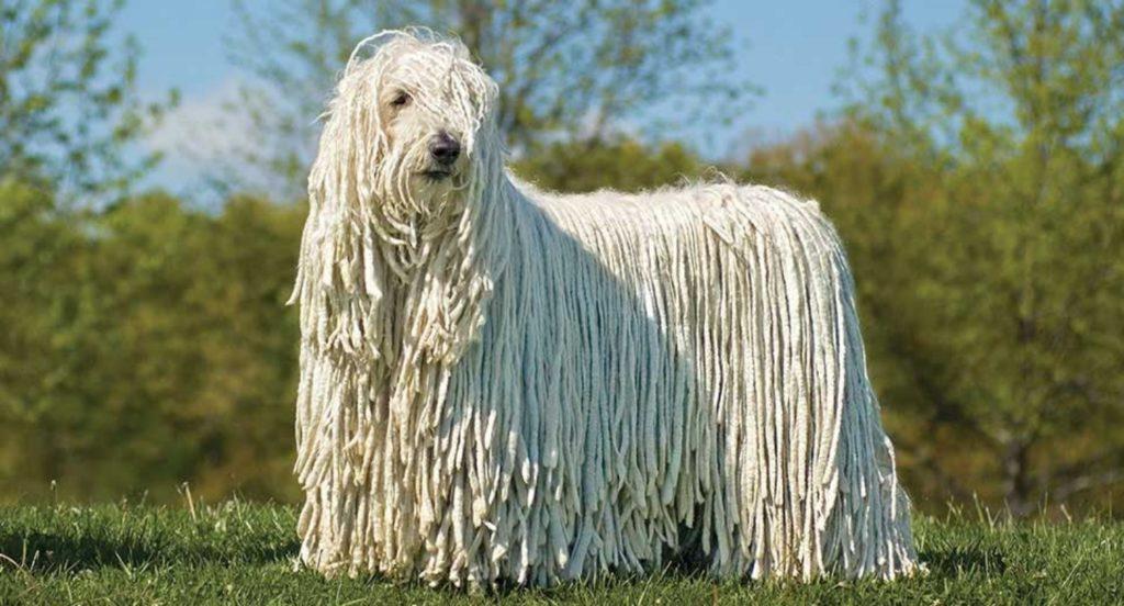 Perro peludo gigante