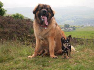 Leonberger junto a un perro pequeño