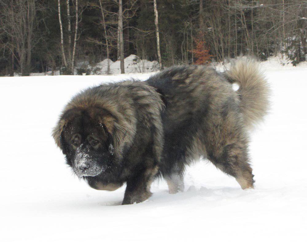 El perro más grande de Rusia