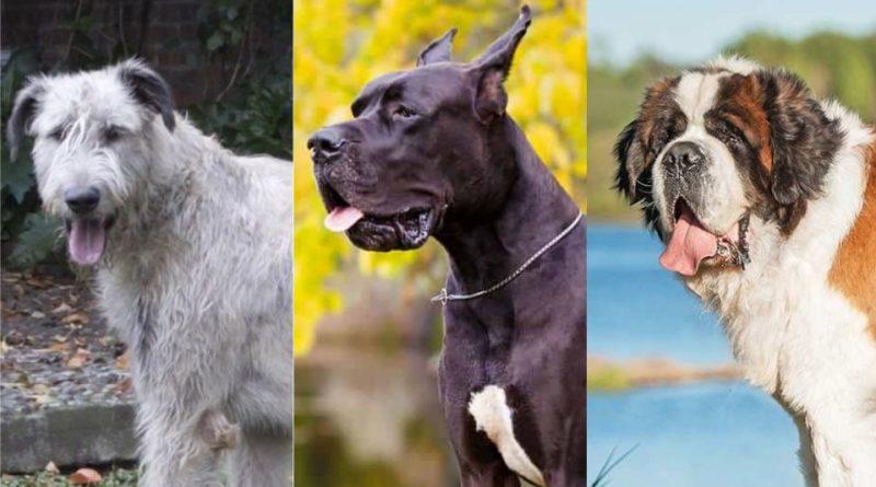 Perros Gigantes: los 3 perros más grandes del mundo