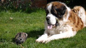 San Bernardo jugando con perro pequeño