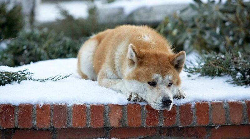 Hachiko, uno de los perros más famosos de la historia